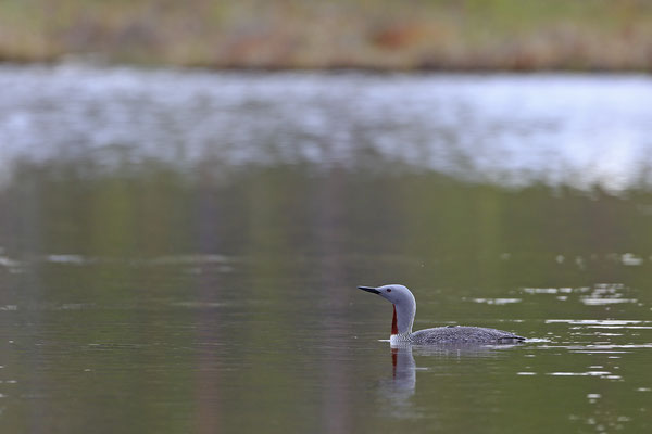 Sterntaucher,Gavia stellata,Red-throated Diver 0002