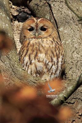 Waldkauz,Strix aluco,Tawny Owl 0033