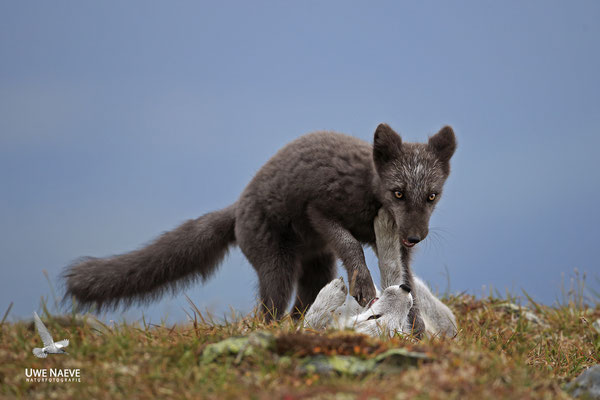 Polarfuchs,Eisfuchs,Arctic Foxes,Alopex lagopus,Vulpex lagopus 0104