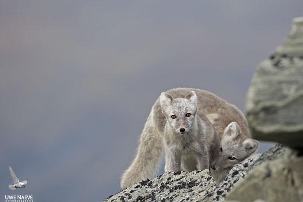 Polarfuchs,Eisfuchs,Arctic Foxes,Alopex lagopus,Vulpex lagopus 0091