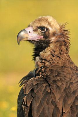 Moenchsgeier Aegypius monachus Black vulture 0009