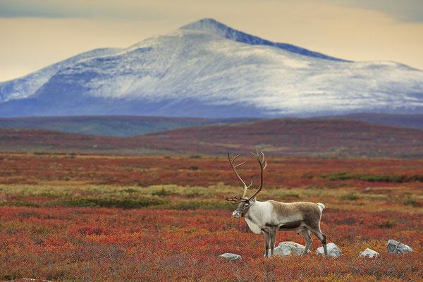 Ren Rentier Rangifer tarandus Reindeer 0136