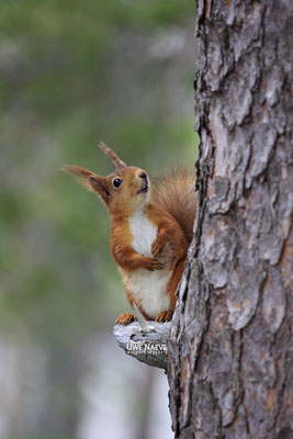 Eichhoernchen,Sciurus vulgaris,Red Squirrel 0010