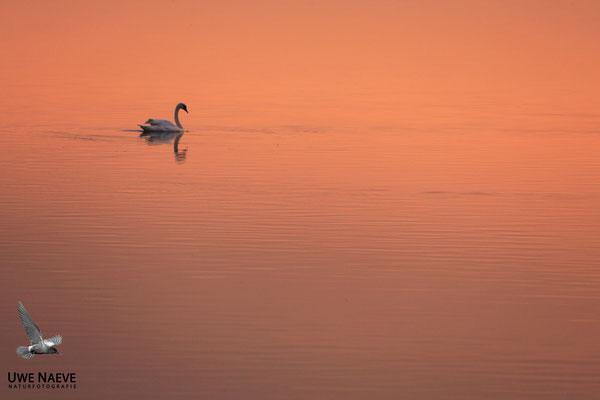 Hoeckerschwan,Mute Swan,Cygnus olor 0020