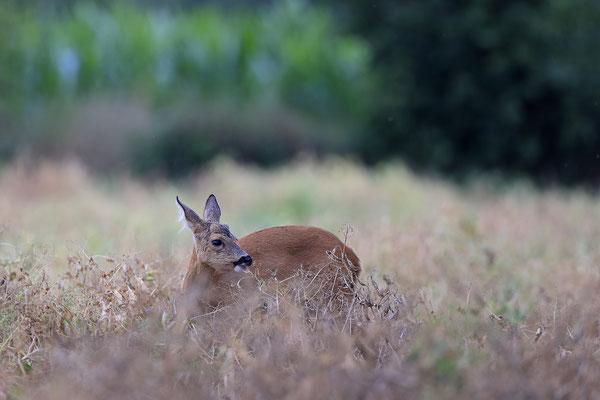 Reh,Ricke,Roe Deer doe,Capreolus capreolus0227