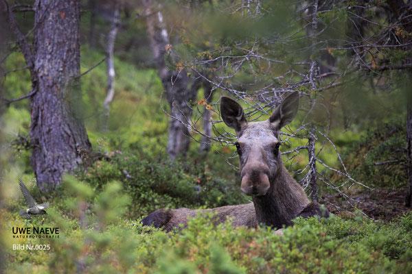 Elch Alces alces Moose