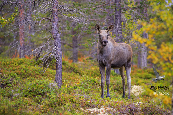 Elch Alces alces Moose 0006