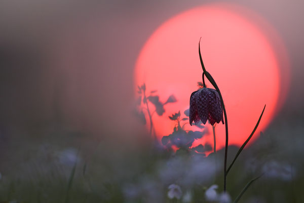 Schachbrettblume,Kiebitzei,Fritillaria meleagris,Fritillary 0013