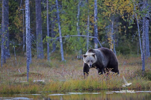 Braunbaer Ursus arctos brown bear 0077