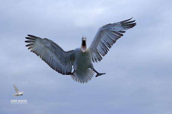 Krauskopfpelikan,Dalmatien pelican,pelecanus crispus 0002