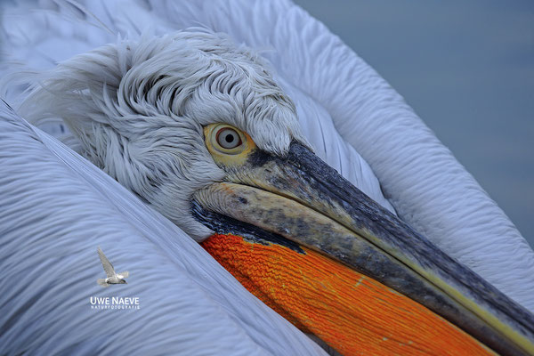 Krauskopfpelikan,Dalmatien pelican,pelecanus crispus 0031