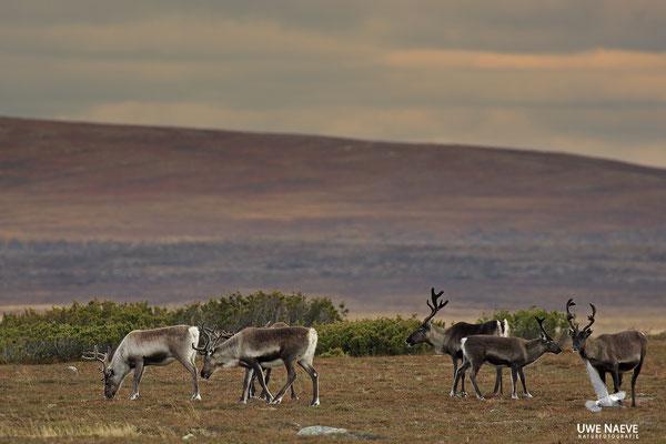Ren Rentier Rangifer tarandus Reindeer 0104