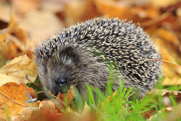 Europaeischer Igel,European Hedgehog,Erinaceus europeas 0024