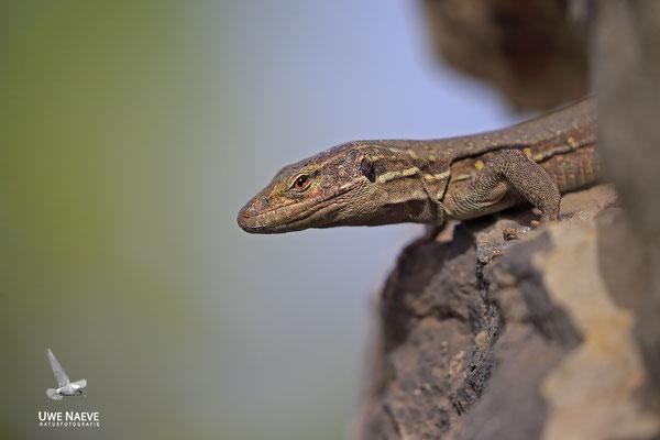 Kanarische Eidechse endemisch , Gallotia Galloti 0001
