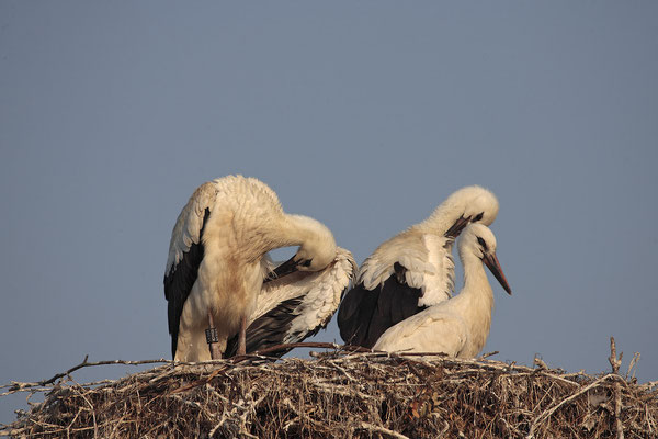 Weissstoerche,White Stork,Ciconia ciconia  0065