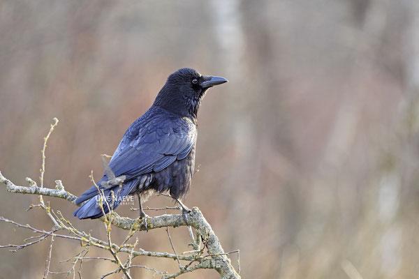 Rabenkraehe Corvus corone corone Carrion Crow 0008