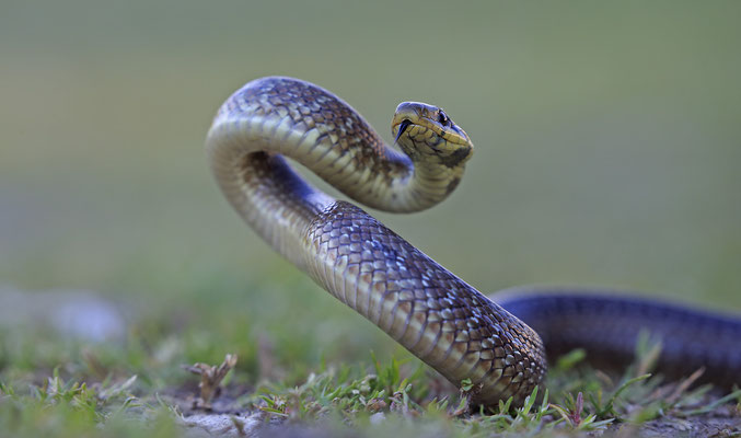 Äskulapnatter,Zamenis Congissimus,Aesculapian Snake 0004