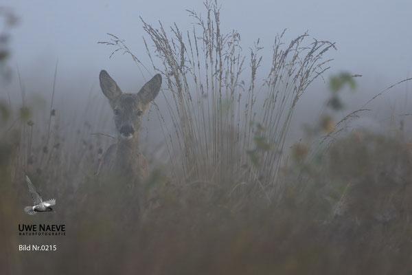 Reh,Ricke,Roe Deer doe,Capreolus capreolus 0215