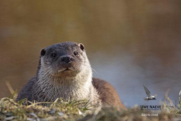 Fischotter,Otter,Lutra lutra 0068