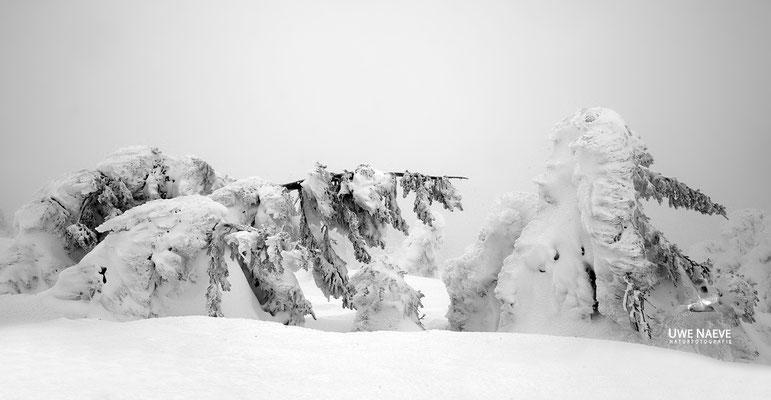 Harz, Brocken,Fichtenwald im Winter 8750