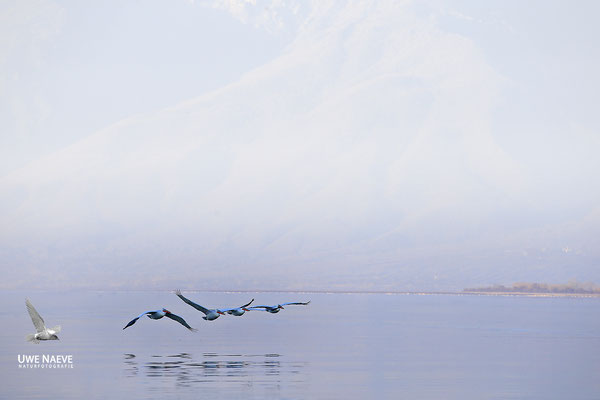 Krauskopfpelikan,Dalmatien pelican,pelecanus crispus 0050