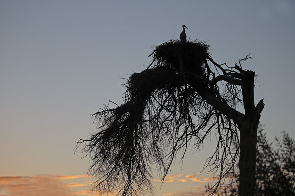 Weissstorch,White Stork,Ciconia ciconia 0107