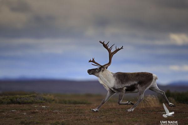 Ren Rentier Rangifer tarandus Reindeer 0102