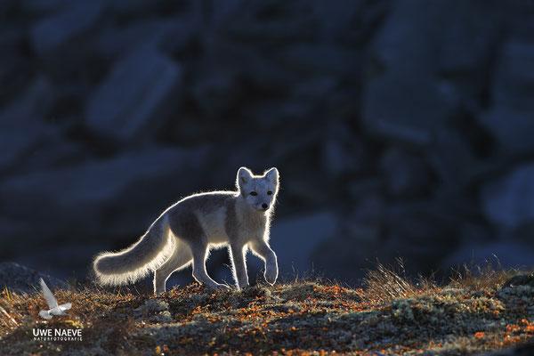 Polarfuchs,Eisfuchs,Arctic Foxes,Alopex lagopus,Vulpex lagopus 0065