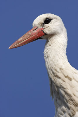 Weissstorch,White Stork,Ciconia ciconia 0076