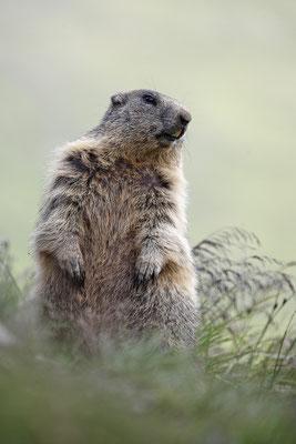 Alpenmurmeltier,Marmota,Marmot 0014