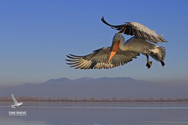 Krauskopfpelikan,Dalmatien pelican,pelecanus crispus 0060