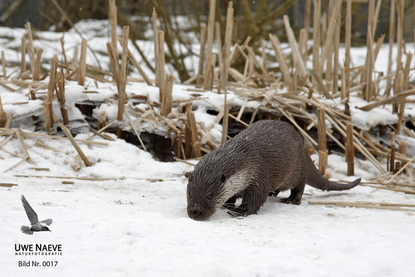 Fischotter,Otter,Lutra lutra 0017