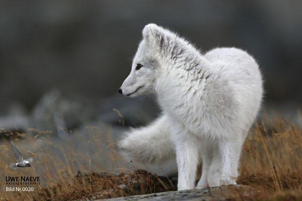 Polarfuchs,Eisfuchs,Arctic Foxes,Alopex lagopus,Vulpex lagopus 0020