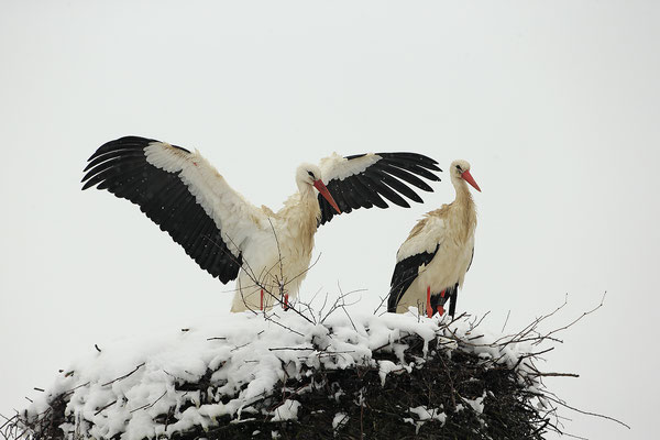 Weissstorch,White Stork,Ciconia ciconia 0118