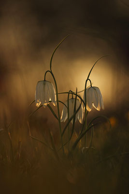 Schachbrettblume,Kiebitzei,Fritillaria meleagris,Fritillary 0020