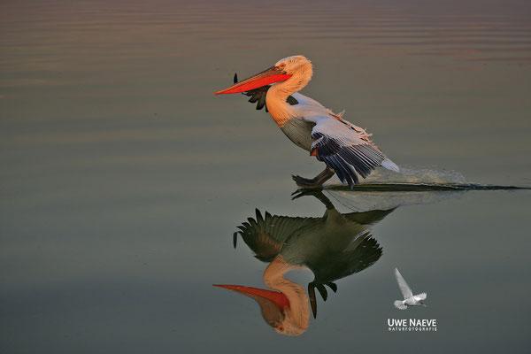 Krauskopfpelikan,Dalmatien pelican,pelecanus crispus 0029