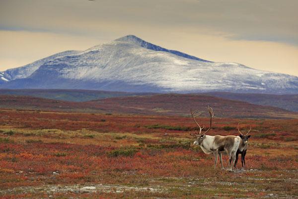 Ren Rentier Rangifer tarandus Reindeer 0135