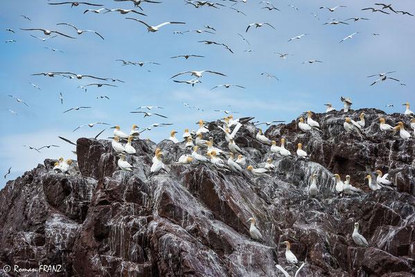 Basstölpel, Bass Rock Schottland