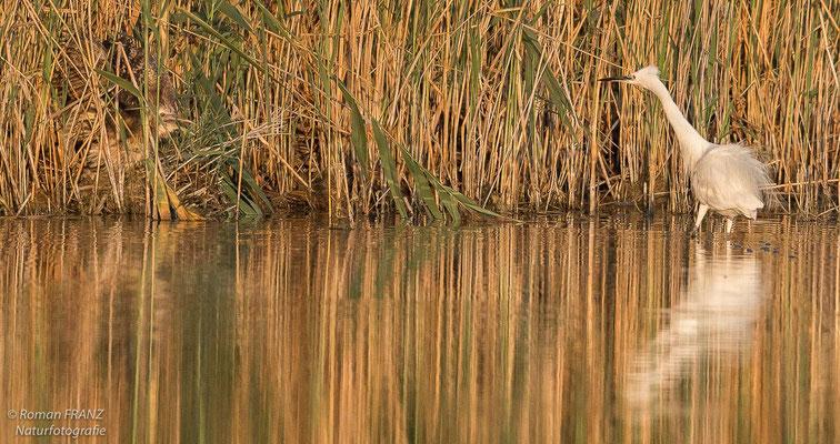 Eine Rohrdommel im Gespräch mit einem Seidenreiher, Neusiedlersee