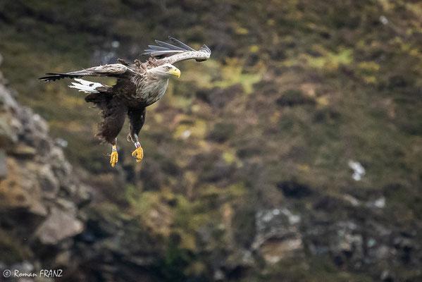 Seeadler, Schottland