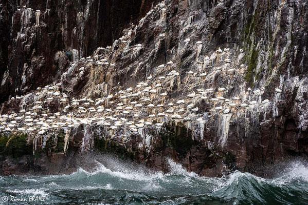 Basstölpel Bass Rock, Schottland