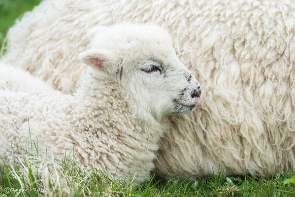 kleines Schaf in Irland