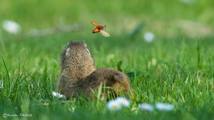 Dieses Ziesel wollte den Maikäfer fangen