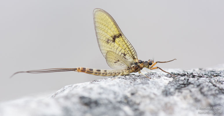 Mayfly, Lough Corrib-Irland