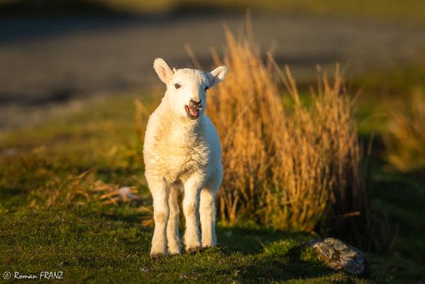 kleines Schaf, Insel Skye Schottland