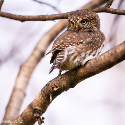 Northern Pygmy Owl, Sperlingskauz
