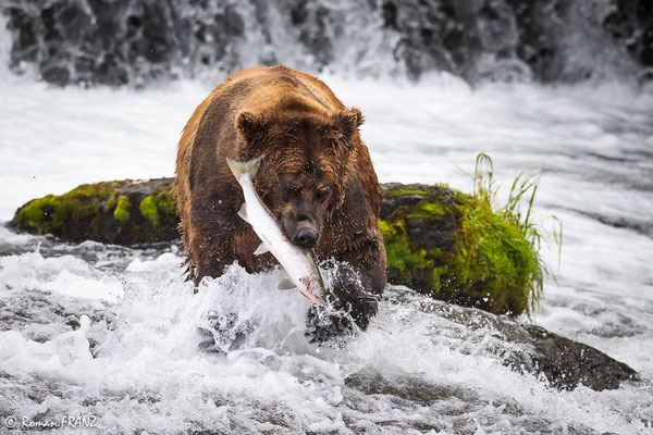 a grizzly with his salmon
