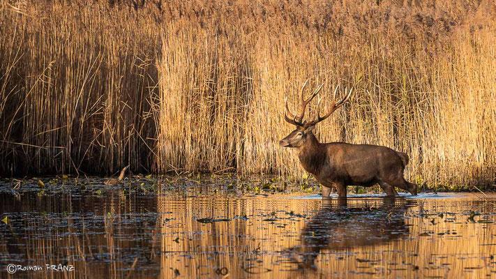 Der Hirsch und die Rohrdommel