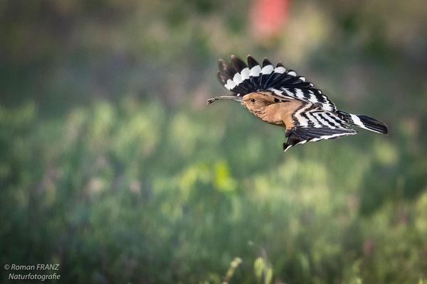 Ein Wiedehopf beim Flug über eine Wiese