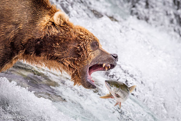 Grizzly catch the salmon
